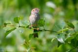 Field Sparrow in sun