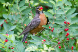 Robin with berries