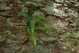 Asplenium platyneuron- Ebony Spleenwort
