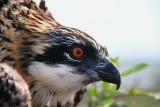 Osprey Project