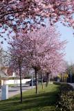 Prunus flamboyants_8887r.jpg