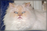 Missy's Persian Cat