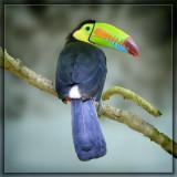 Toucan from Honduras