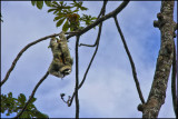 Bruce the Sloth: Veragua Rain Forest Costa Rica