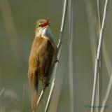 great reed warbler.... grote karakiet