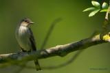 spotted flycatcher.... grauwe vliegenvanger