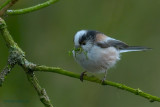 long-tailed tit.... staartmees