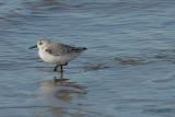 sanderling.... drieteenstrandloper