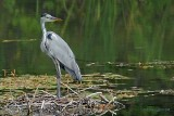 grey heron.... blauwe reiger
