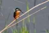 common kingfisher.... ijsvogel
