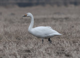 Tundra Swan (Mindre sångsvan )