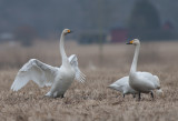 Whooper Swan (Sångsvan )