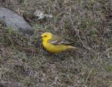 Yellow-Wagtail near Kazbegi