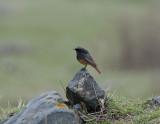 Black Redstart  ( Semirufus )