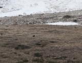 Caucasian Grouse
