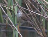 Unidentified Warbler