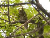 Striated Scops Owl Birecik