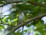 Upchers warbler