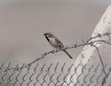 Dead sea Sparrow Birecik