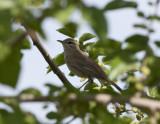 Rufous-tailed scrub robin Birecik