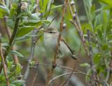 Greenish Warbler ( Lundsångare )