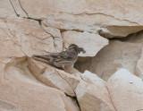 Rock Buntin wadi in Birecik