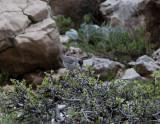 Eastern Orphean Warbler Nemrut Dagi picture taken in bad light