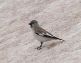 Snowfinch Nemrut Dagi