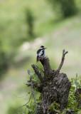 Syrian Woodpecker Nemrut Dagi