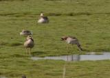 Egyptian Goose ( Nilgås )