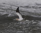 Northern Gannet (Havssula )