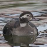 Long-tailed Duck ( Alfågel )