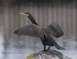 Great Cormorant (Storskarv )