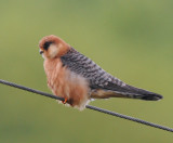 Red-Footed Falcon ( Aftonfalk )