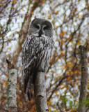 Great Northern Owl ( Lappuggla )