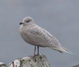 Iceland Gull ( Vitvingad trut )