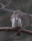 Pygmy Owl ( Sparvuggla )