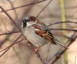 House sparrow ( Gråsparv )