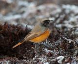 Eastern Black Redstart ( Östlig Svart Rödstjärt )