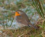 European Robin ( Rödhake )