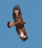 Golden Eagle ( Kungsörn )