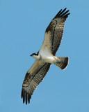 Osprey ( Fiskgjuse )