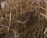 Dusky Warbler ( Brunsångare )