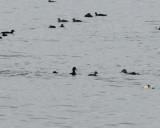 Black Scoter ( Amerikansk sjöorre )