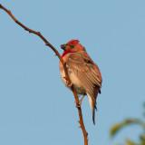 Common Rosefinch (Rosenfink )