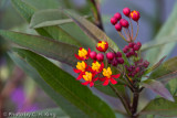 Blood Flower - Oriental Milkweed