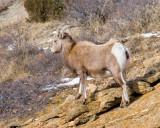zP1030429 Bighorn sheep above Fall River near RMNP.jpg