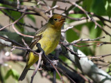 IMG_1298 Western Tanager.jpg