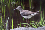 IMG_8661a Solitary Sandpiper.jpg