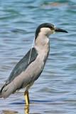 IMG_1676f Black-crowned Night Heron .jpg